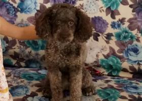 寻狗启示,成都双流寻3岁巧克力色泰迪犬,它是一只非常可爱的宠物狗狗,希望它早日回家,不要变成流浪狗。