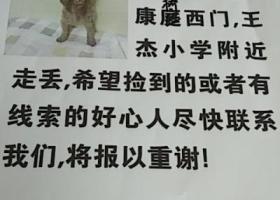 寻狗启示,徐州王杰小学附近母泰迪走丢,它是一只非常可爱的宠物狗狗,希望它早日回家,不要变成流浪狗。