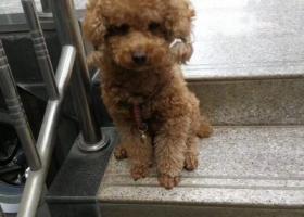 """寻狗启示,泰迪公犬""""豆豆"""" ,我们都在等你回家,它是一只非常可爱的宠物狗狗,希望它早日回家,不要变成流浪狗。"""