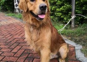 寻狗启示,福州市梅峰路 附近捡到一只大金毛,它是一只非常可爱的宠物狗狗,希望它早日回家,不要变成流浪狗。