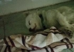 小型犬,毛色淡金黄,脖子上有绿色带反光条项圈。