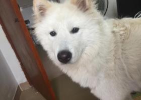寻狗启示,广州天河区捡到萨摩耶,它是一只非常可爱的宠物狗狗,希望它早日回家,不要变成流浪狗。