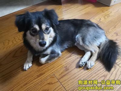 马鞍山找狗,小土狗于8月28日晚走失,它是一只非常可爱的宠物狗狗,希望它早日回家,不要变成流浪狗。