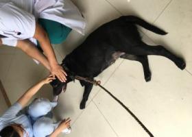 寻狗启示,白云区金沙洲黑色母狗,它是一只非常可爱的宠物狗狗,希望它早日回家,不要变成流浪狗。
