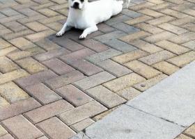 寻狗启示,寻找小帅帅她是一只中华田园犬,它是一只非常可爱的宠物狗狗,希望它早日回家,不要变成流浪狗。