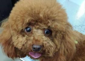 寻狗启示,宿迁卓圩街道8月26日下午丢失小型棕色泰迪狗一只,重金感谢,它是一只非常可爱的宠物狗狗,希望它早日回家,不要变成流浪狗。