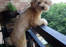 寻狗启示,白云区泽德花苑丢失浅棕色泰迪女女,它是一只非常可爱的宠物狗狗,希望它早日回家,不要变成流浪狗。