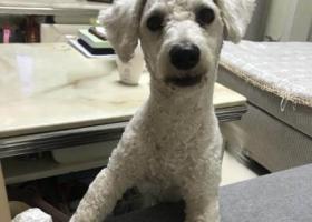 寻狗启示,壮壮,白色比熊,公狗剃完毛没多久,它是一只非常可爱的宠物狗狗,希望它早日回家,不要变成流浪狗。