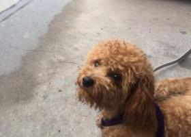 寻狗启示,嘉定区嘉定新城车站捡到一只母泰迪,它是一只非常可爱的宠物狗狗,希望它早日回家,不要变成流浪狗。