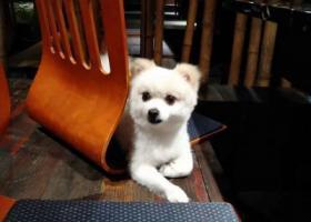 寻狗启示,悬赏2万找爱犬,江宁文靖西路白色博美犬走丢,它是一只非常可爱的宠物狗狗,希望它早日回家,不要变成流浪狗。