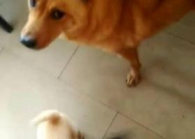 寻狗启示,佛山禅城寻找深黄色土狗,它是一只非常可爱的宠物狗狗,希望它早日回家,不要变成流浪狗。