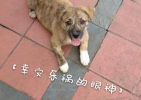 寻找走失的2个月大中华田园犬