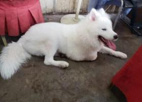 寻狗启示,捡到一只萨摩,寻主人,它是一只非常可爱的宠物狗狗,希望它早日回家,不要变成流浪狗。