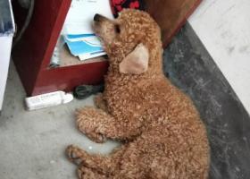 寻狗启示,广州番禺钟村健民牛奶甜品店寻找泰迪,它是一只非常可爱的宠物狗狗,希望它早日回家,不要变成流浪狗。