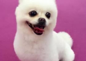 寻狗启示,重金寻狗,博美,温莎高速,南城服务区丢失,它是一只非常可爱的宠物狗狗,希望它早日回家,不要变成流浪狗。