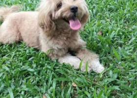 寻狗启示,深圳南山蔚蓝海岸寻狗,重金酬谢!!,它是一只非常可爱的宠物狗狗,希望它早日回家,不要变成流浪狗。