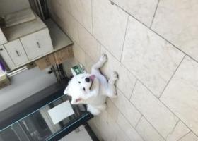 寻狗启示,浦东新区合庆镇附近捡到一只公萨摩,它是一只非常可爱的宠物狗狗,希望它早日回家,不要变成流浪狗。