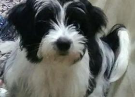 寻狗启示,宁波江东万元寻爱犬黑白花色长毛小型狗,它是一只非常可爱的宠物狗狗,希望它早日回家,不要变成流浪狗。