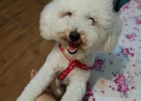 寻狗启示,大渡口区与九龙坡区交界处雌性比熊犬丢失,它是一只非常可爱的宠物狗狗,希望它早日回家,不要变成流浪狗。