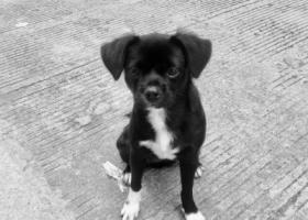 寻狗启示,鄞州区龙升制衣厂旁走丢,它是一只非常可爱的宠物狗狗,希望它早日回家,不要变成流浪狗。