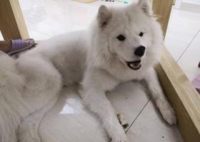 寻狗启示,杭州市江干区钱江新城市民中心悬赏一万元寻找萨摩,它是一只非常可爱的宠物狗狗,希望它早日回家,不要变成流浪狗。