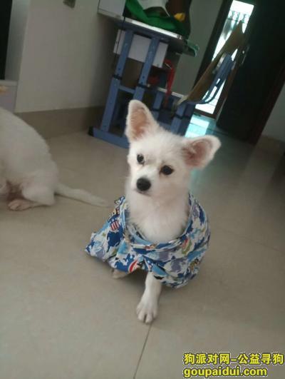 ,博美犬在文化公园附近走丢,它是一只非常可爱的宠物狗狗,希望它早日回家,不要变成流浪狗。