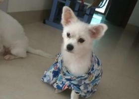 寻狗启示,博美犬在文化公园附近走丢,它是一只非常可爱的宠物狗狗,希望它早日回家,不要变成流浪狗。