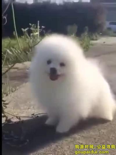 西双版纳寻狗启示,捡到博美一只免费送养 。。。。。。。,它是一只非常可爱的宠物狗狗,希望它早日回家,不要变成流浪狗。