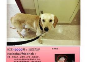 寻狗启示,重金寻狗狗:拉布拉多,它是一只非常可爱的宠物狗狗,希望它早日回家,不要变成流浪狗。