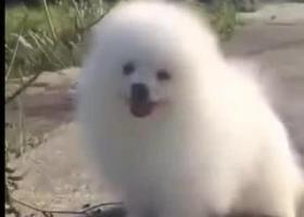 寻狗启示,博美一只免费送养。。。。。。,它是一只非常可爱的宠物狗狗,希望它早日回家,不要变成流浪狗。