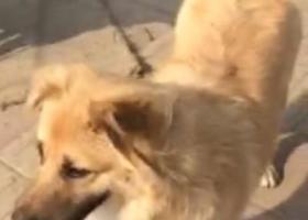 寻狗启示,在寻找一只黄色的中华田园犬,它是一只非常可爱的宠物狗狗,希望它早日回家,不要变成流浪狗。