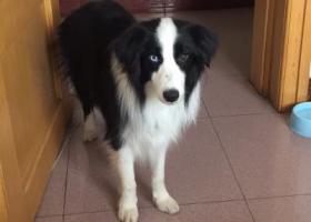寻狗启示,寻找爱犬牧牧,9.4日晚在丰盈小区走失,它是一只非常可爱的宠物狗狗,希望它早日回家,不要变成流浪狗。