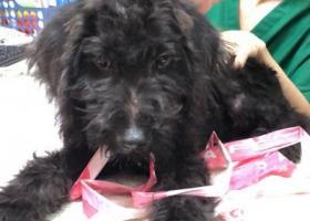 寻狗启示,捡到一直黑色疑视贵宾 7-8个月大 公狗,它是一只非常可爱的宠物狗狗,希望它早日回家,不要变成流浪狗。