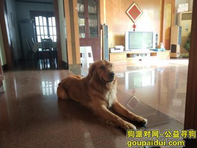 遂宁寻狗网,今天上午凯旋路和和平路交界处丢失一只金毛,它是一只非常可爱的宠物狗狗,希望它早日回家,不要变成流浪狗。
