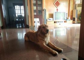 寻狗启示,今天上午凯旋路和和平路交界处丢失一只金毛,它是一只非常可爱的宠物狗狗,希望它早日回家,不要变成流浪狗。