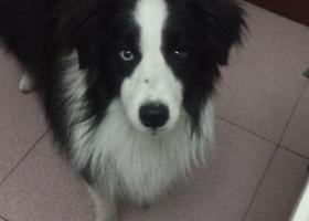 寻狗启示,爱犬牧牧丢失,希望看到的或是帮忙照看的能及时和我联系,重金酬谢,它是一只非常可爱的宠物狗狗,希望它早日回家,不要变成流浪狗。
