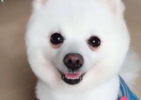 寻狗启示,寻找纯白色小型博美犬,名字叫lucky,七岁,,它是一只非常可爱的宠物狗狗,希望它早日回家,不要变成流浪狗。