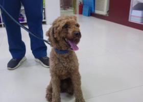 寻狗启示,在深圳布吉捡到一条贵宾,它是一只非常可爱的宠物狗狗,希望它早日回家,不要变成流浪狗。