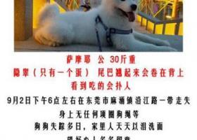寻狗启示,东莞市麻涌镇沿江路酬谢3千元寻找萨摩,它是一只非常可爱的宠物狗狗,希望它早日回家,不要变成流浪狗。