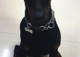 寻狗启示,两万寻找爱犬哈德 黑色杜宾,它是一只非常可爱的宠物狗狗,希望它早日回家,不要变成流浪狗。