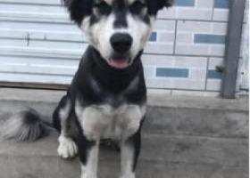 寻狗启示,妹妹离家出走三个月了 报一线希望寻求各大狗友们帮助,它是一只非常可爱的宠物狗狗,希望它早日回家,不要变成流浪狗。
