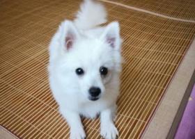 寻狗启示,博美贝贝公5斤左右白色,它是一只非常可爱的宠物狗狗,希望它早日回家,不要变成流浪狗。