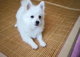 寻狗启示,博美公白色5公斤左右,它是一只非常可爱的宠物狗狗,希望它早日回家,不要变成流浪狗。