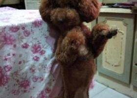 寻狗启示,浦口桥北明发滨江新城丢失1只泰迪重金寻找,它是一只非常可爱的宠物狗狗,希望它早日回家,不要变成流浪狗。