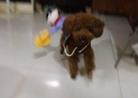 寻狗启示,浦口桥北明发滨江新城丢失一只红棕色泰迪 公,它是一只非常可爱的宠物狗狗,希望它早日回家,不要变成流浪狗。