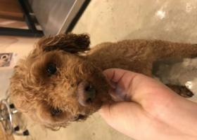 寻狗启示,上海普陀区延长西路沪太路捡到一只公泰迪,它是一只非常可爱的宠物狗狗,希望它早日回家,不要变成流浪狗。