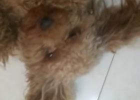 寻狗启示,寻找公泰迪丢失在临泉县姜寨镇少林育才小学旁边不锈钢,它是一只非常可爱的宠物狗狗,希望它早日回家,不要变成流浪狗。