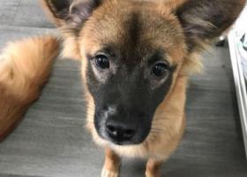 寻狗启示,寻一中华田园犬,9月8日晚上10点左右在北京永安里地铁站附近走失。,它是一只非常可爱的宠物狗狗,希望它早日回家,不要变成流浪狗。