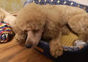 寻狗启示,急寻泰迪狗(有尾巴),它是一只非常可爱的宠物狗狗,希望它早日回家,不要变成流浪狗。