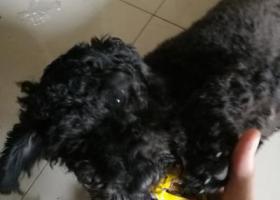 寻狗启示,黑色泰迪一只短尾巴雌性,它是一只非常可爱的宠物狗狗,希望它早日回家,不要变成流浪狗。